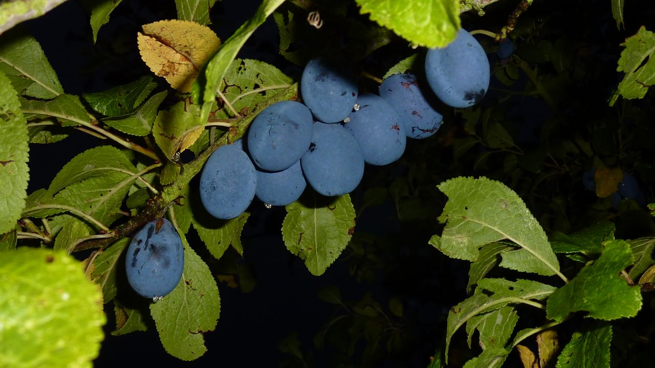Shropshire Prunes Ripening, 13th September 2013