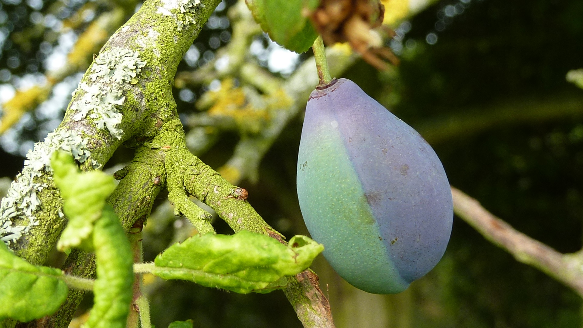 A two-toned Shropshire Prune damson growing in my orchard, August 2013