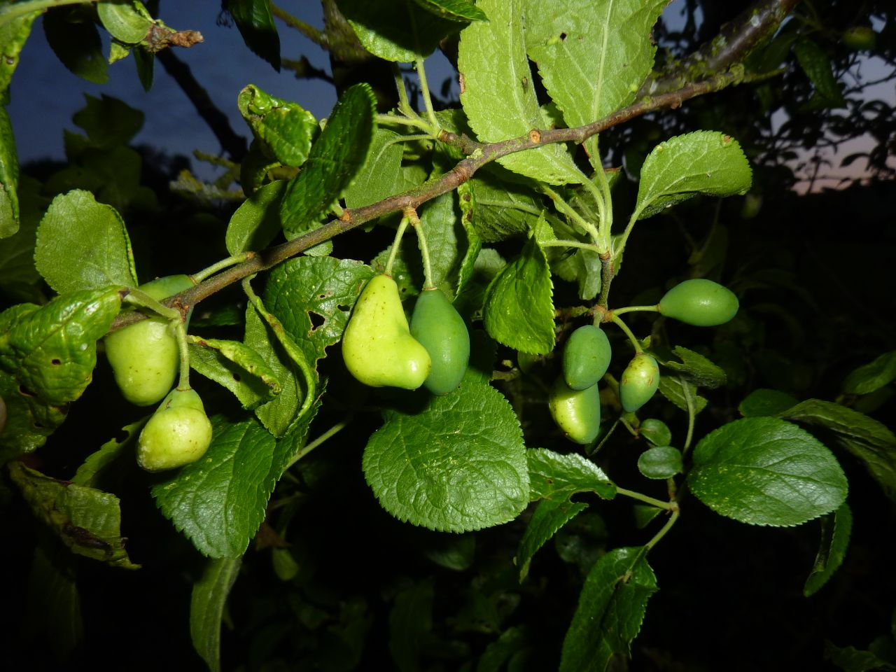 pocket plum disease and blisters
