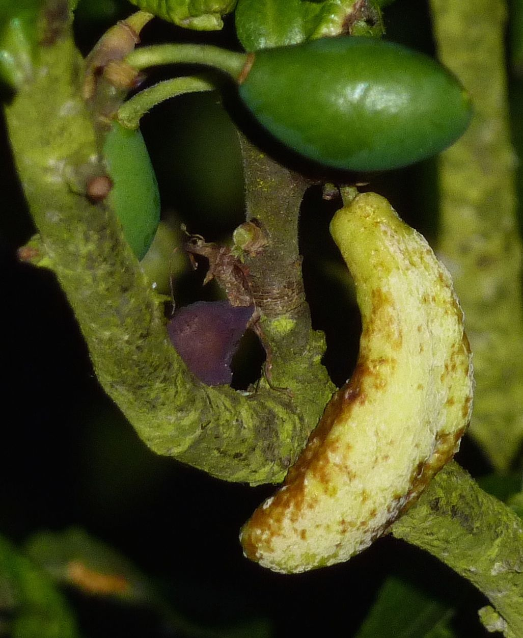 Photo showing the dried, brown deformity of bent banana disease on a damson.