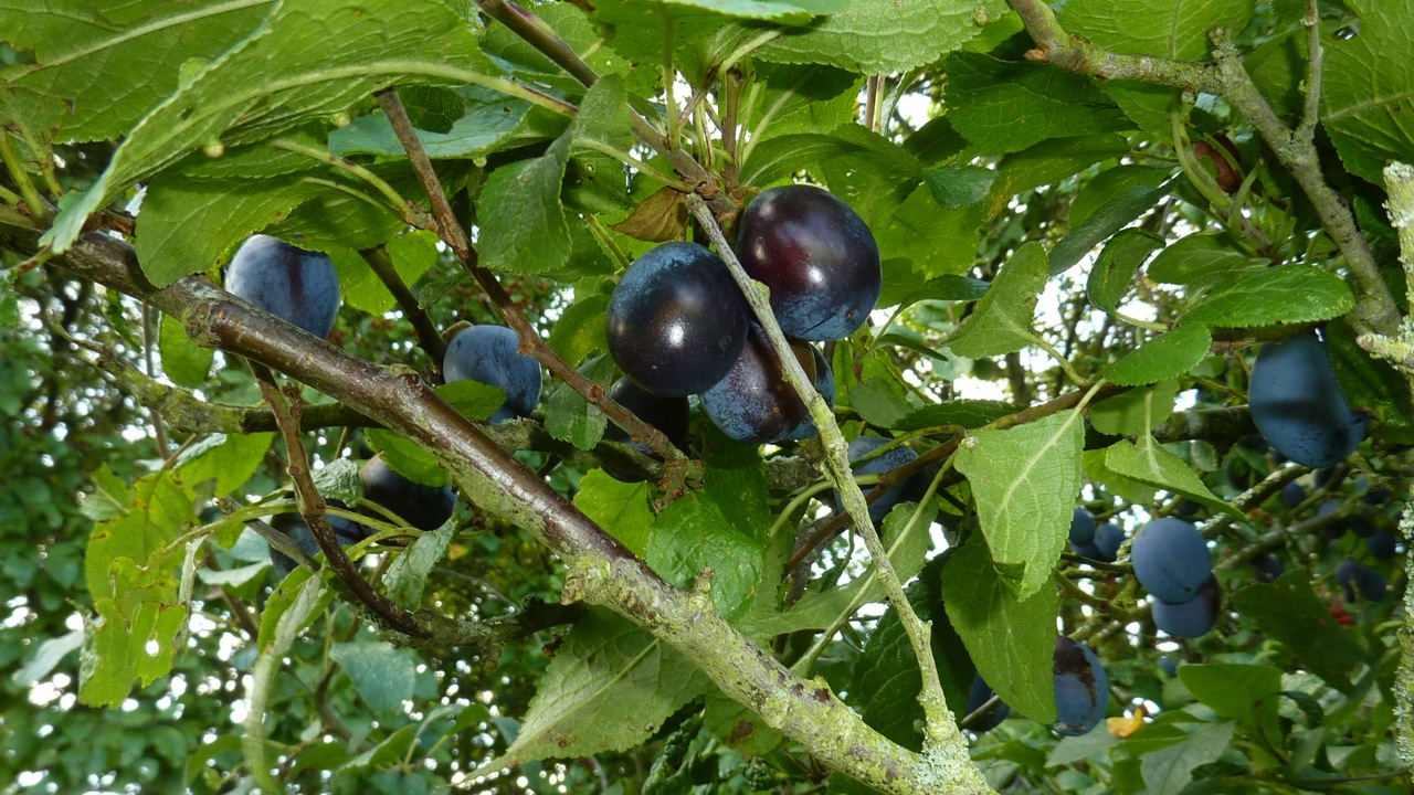 Photo of indigo coloured Shropshire Prune damsons