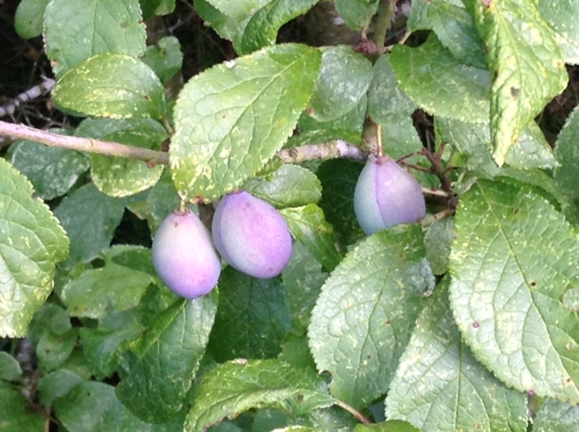 Damsons ripening and turning purple.